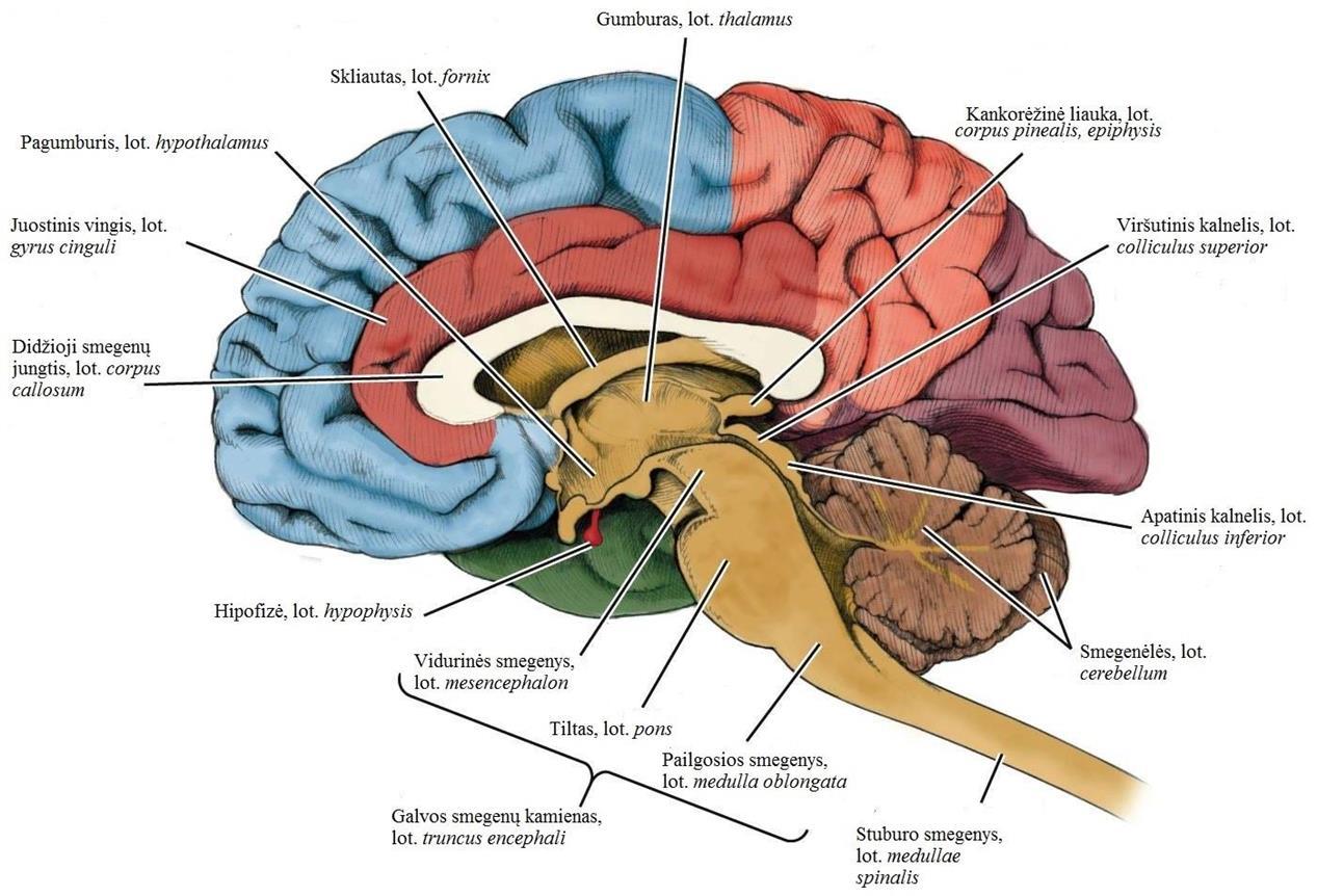 Galvos ir stuburo smegenų baltąją medžiagą