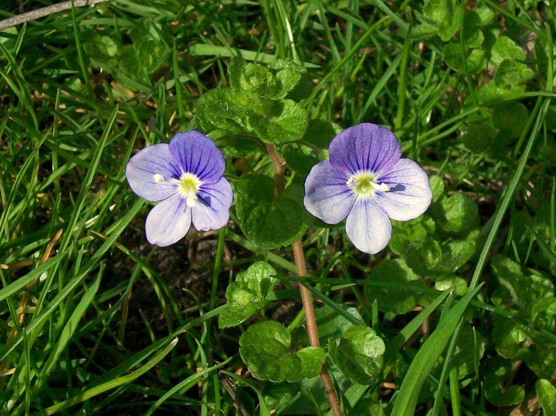 Speedwell Weeds in the Garden