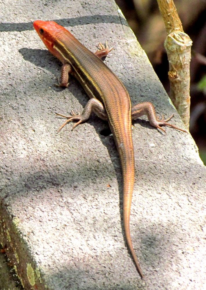 plestiodon inexpectatus wikipedia