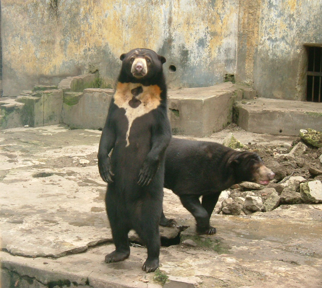 Sun_bear_medan_old_zoo_standing.jpg
