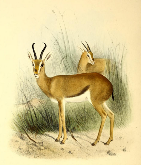 By Philip Sclater (The Book of Antelopes) [Public domain], via Wikimedia Commons