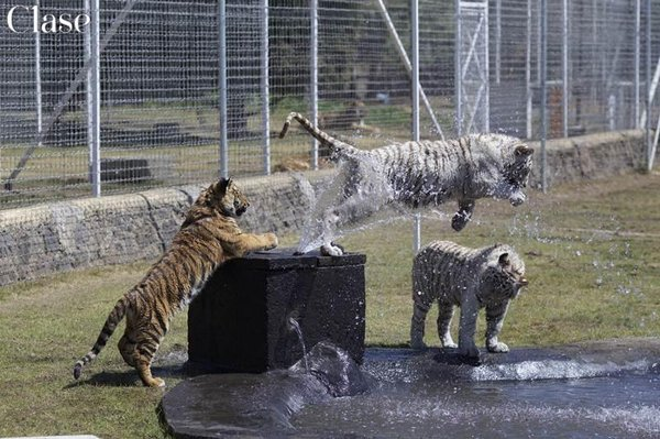 the black jaguar-white tiger foundation – wikipédia
