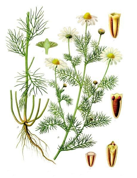 file tripleurospermum inodorum k hler s medizinal pflanzen wikimedia commons. Black Bedroom Furniture Sets. Home Design Ideas