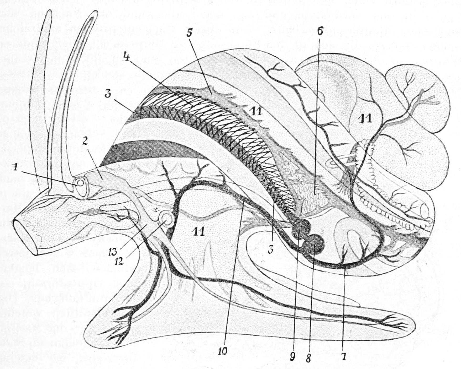 Gastropoda Circulatory System