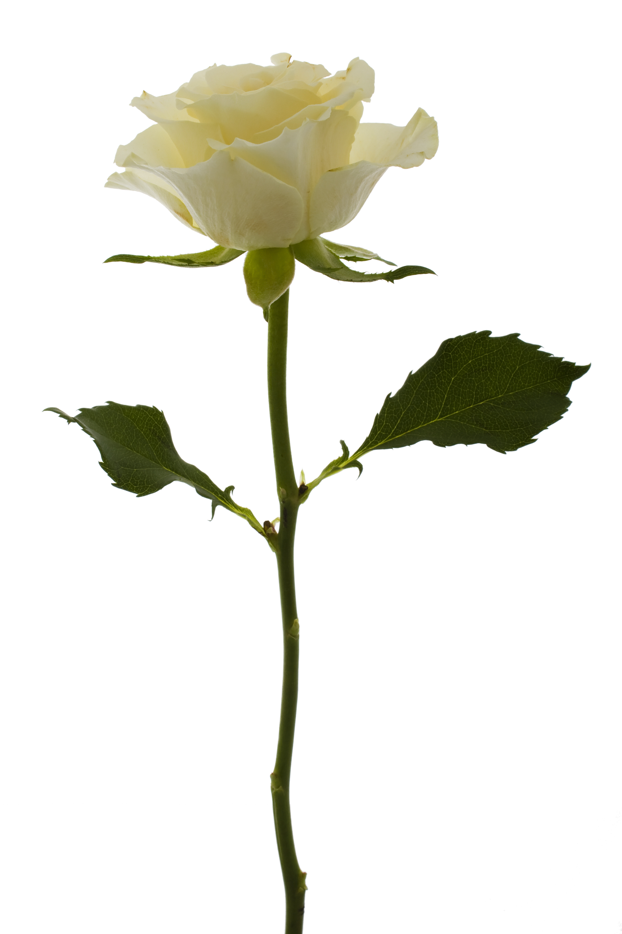 file white rose 5469345311     wikimedia commons