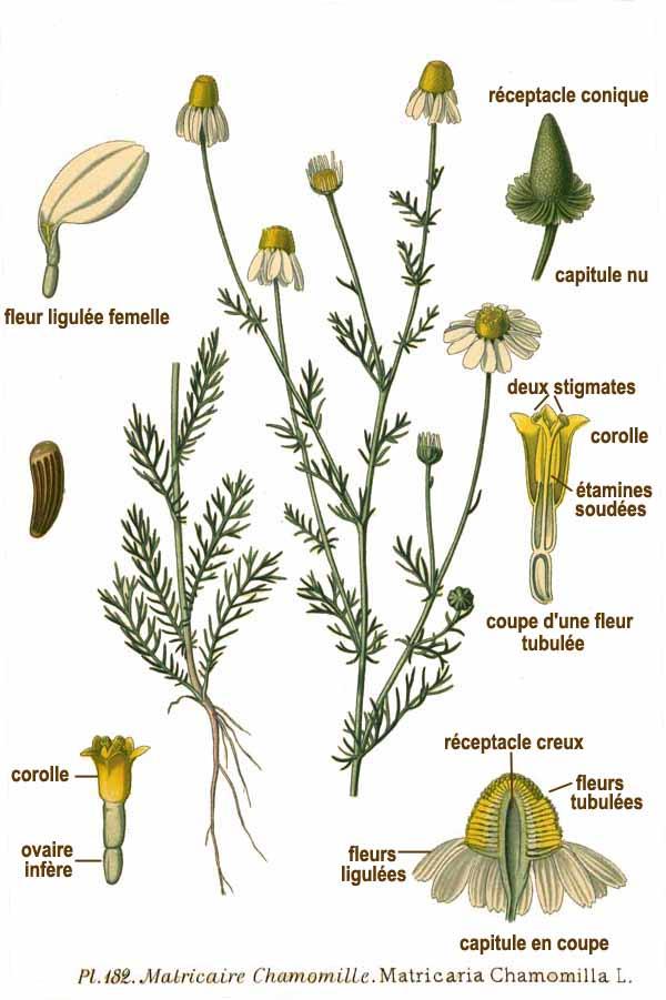 File:182 Matricaria chamomilla L.jpg - Wikimedia Commons