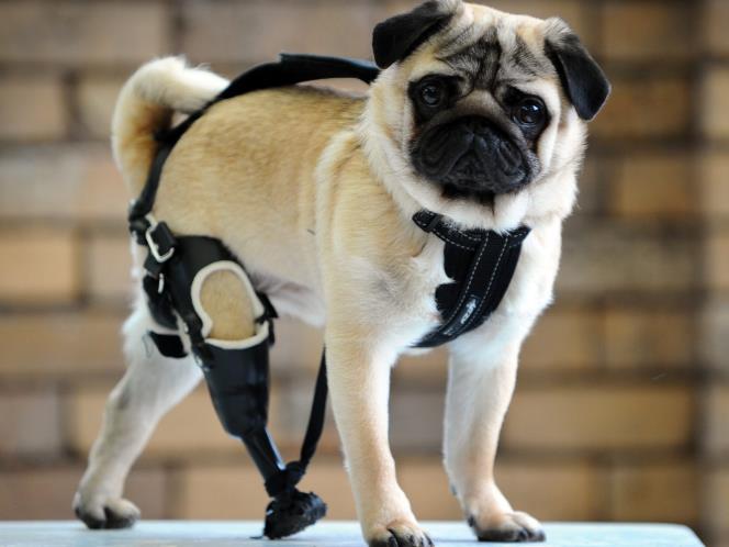 Hur designar man proteser för djur?