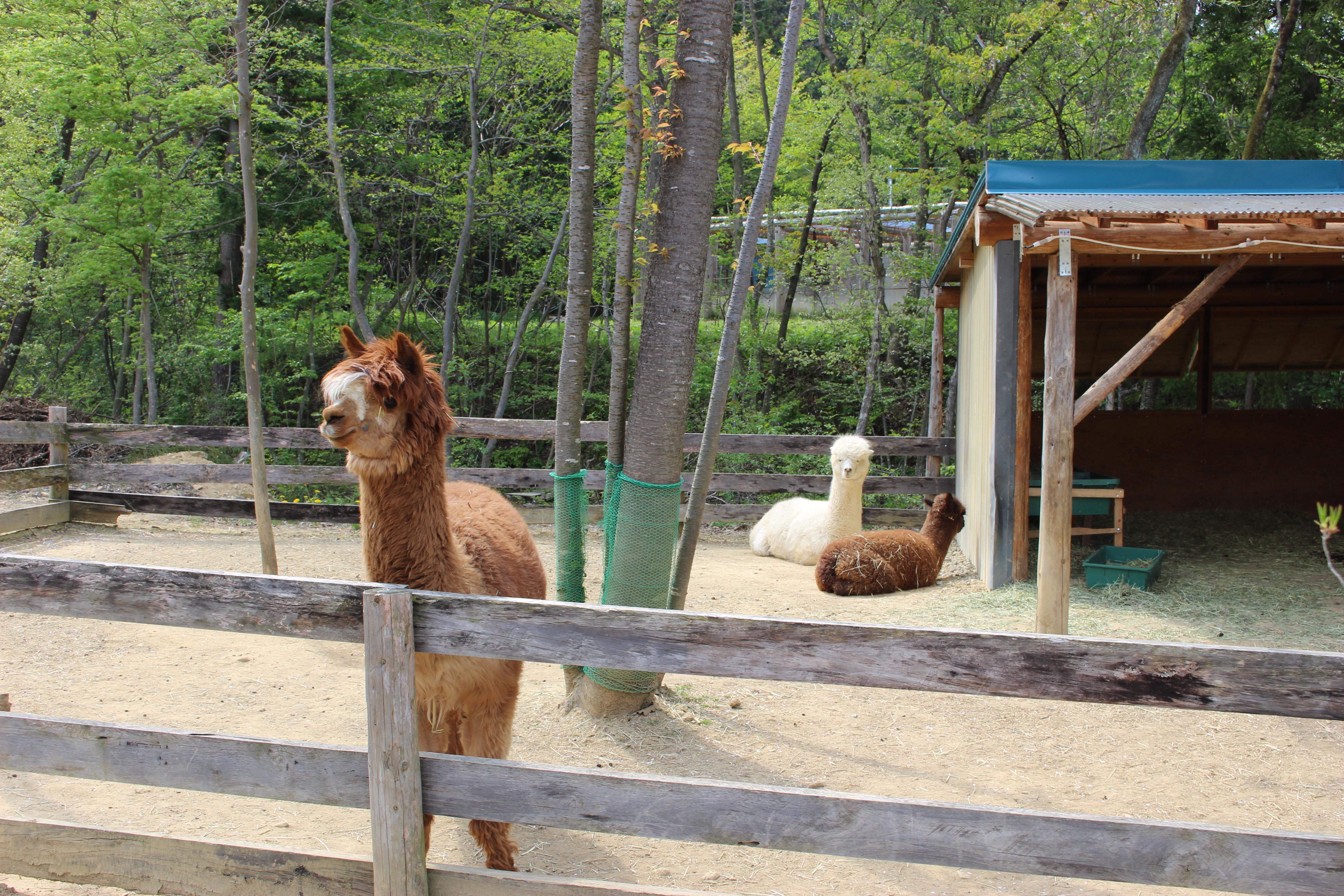 のんびりアルパカ牧場 - Wikiped...