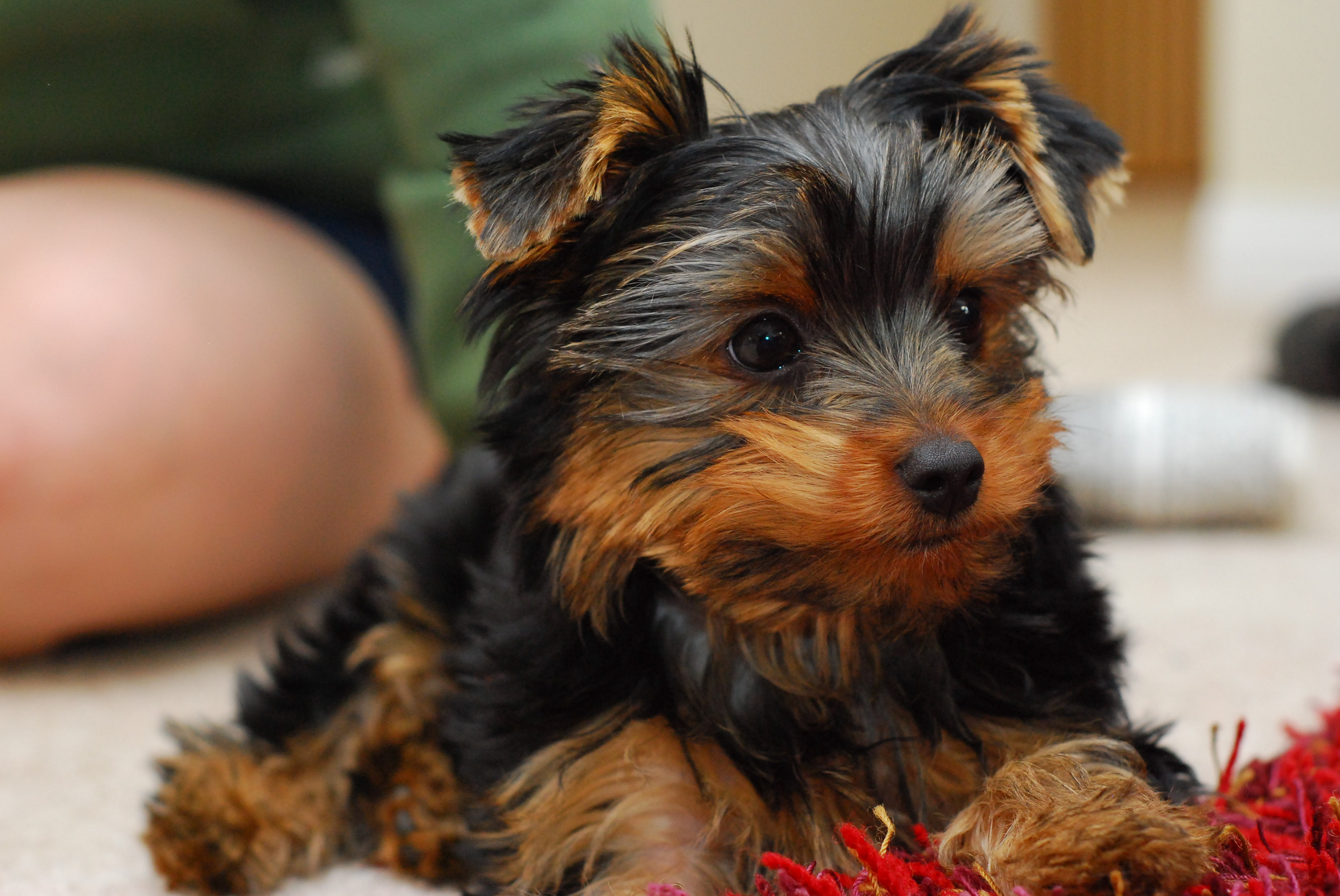 Description A puppy Yorkie.jpg