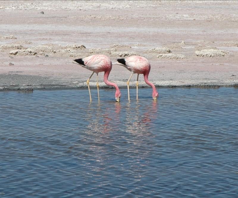 Andean Flamingos