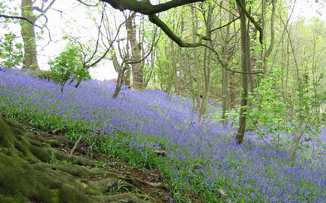 Badby Woods - geograph.org.uk - 105873