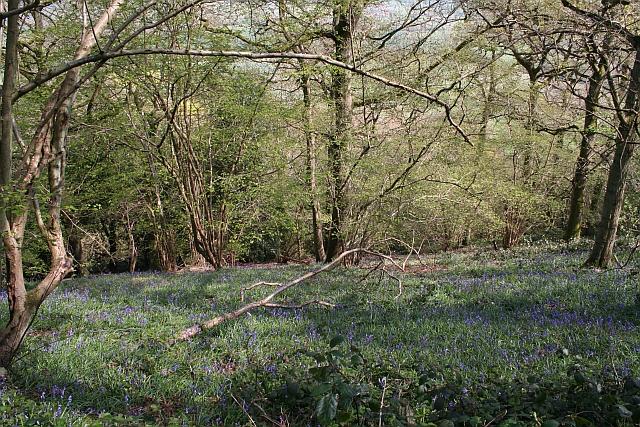 Bluebells on Hollybush Hill - geograph.org.uk - 779738