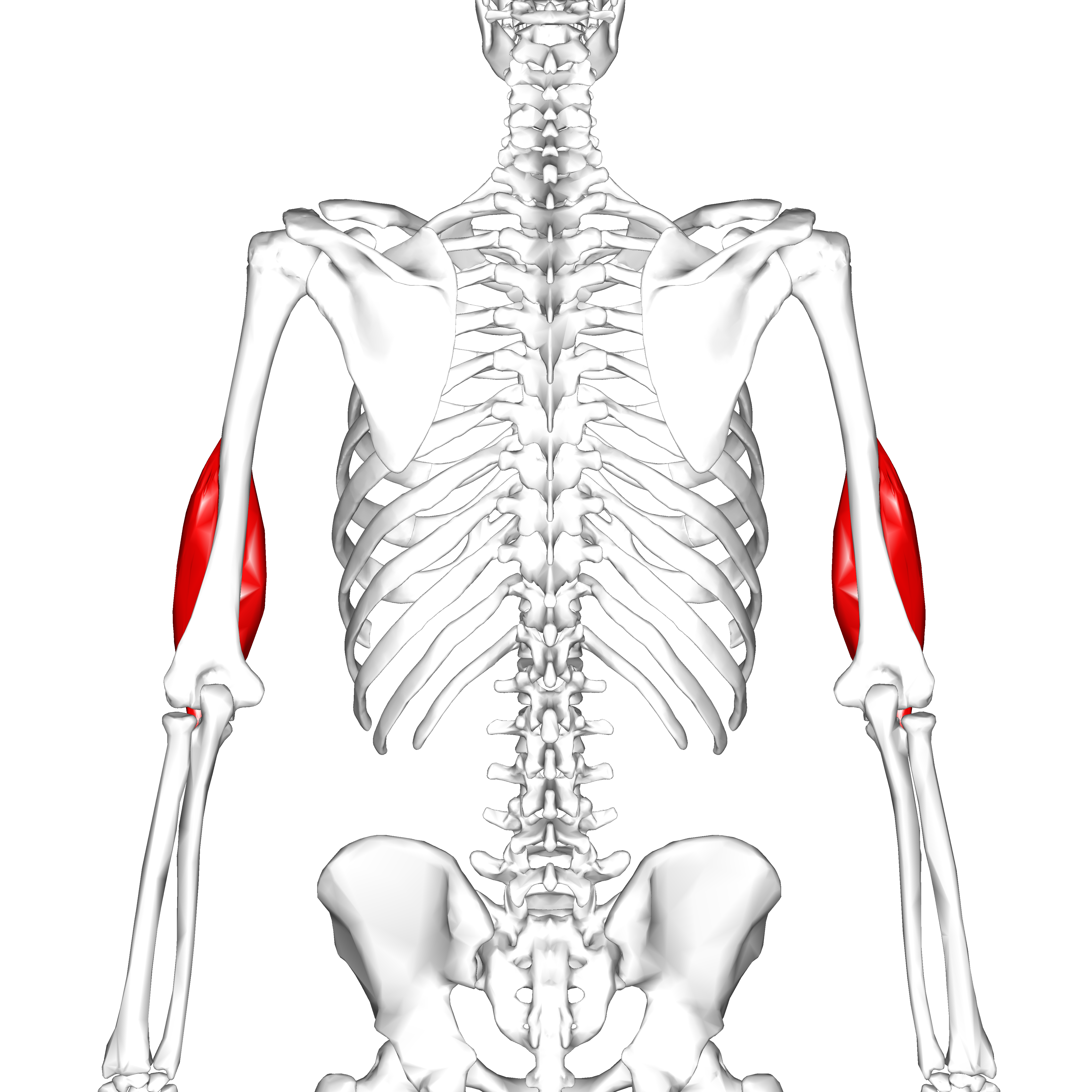 File:Brachialis muscle05.png - Wikimedia Commons