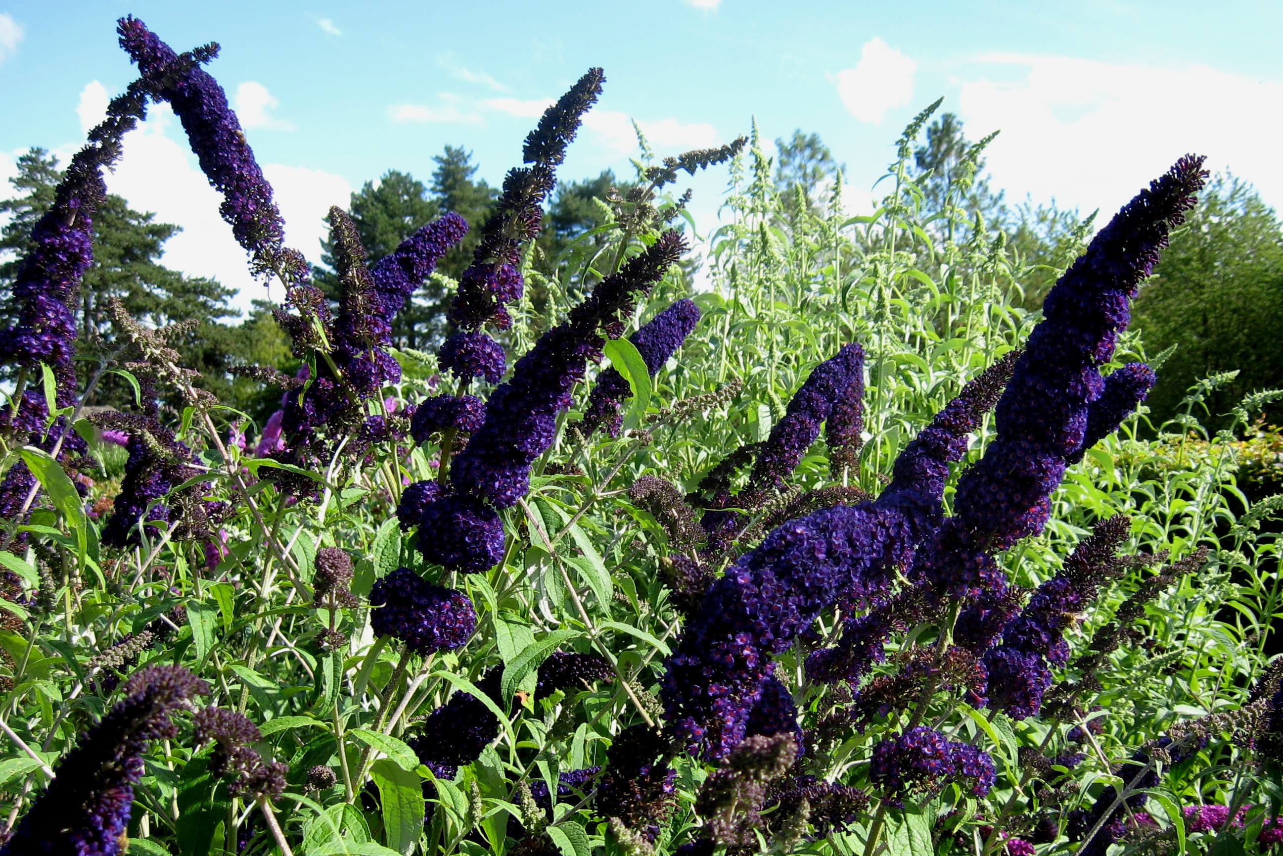 Picture of Live Butterfly Bush (dk purp) aka Buddleia dav. 'Black Knight' Plant Fit 1 Gallon Pot