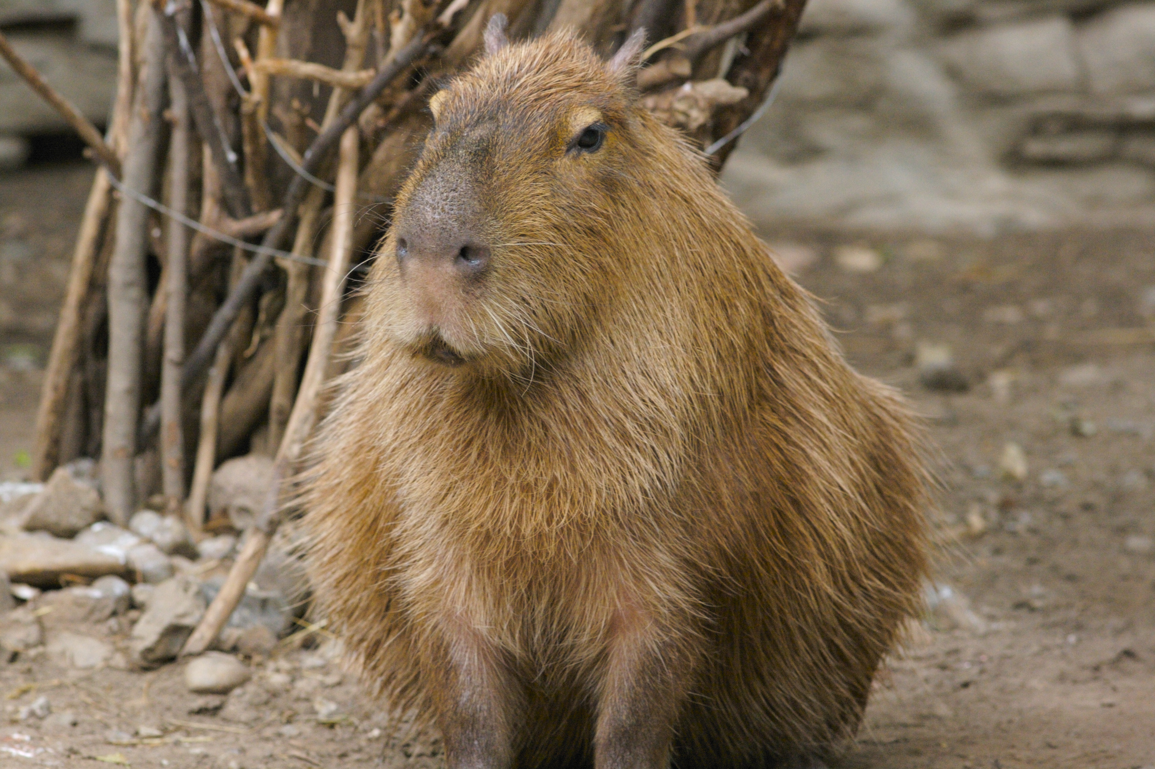 File:Capybara 2.jpg - Wikimedia Commons
