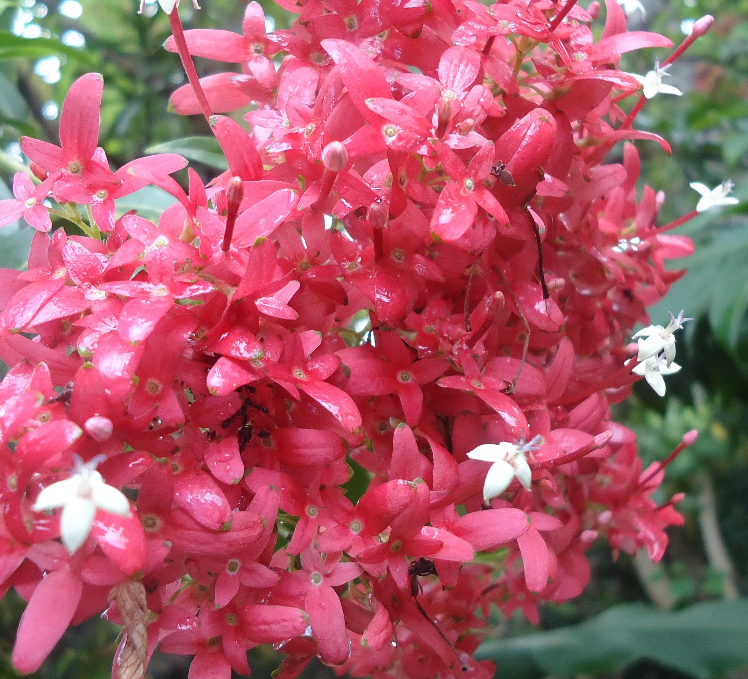 file carphalea kirondron flowers 1 mindanao philippines jpg