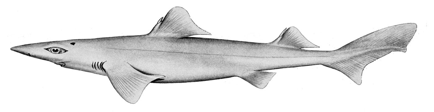 Centrophoridae | Wiki | Everipedia