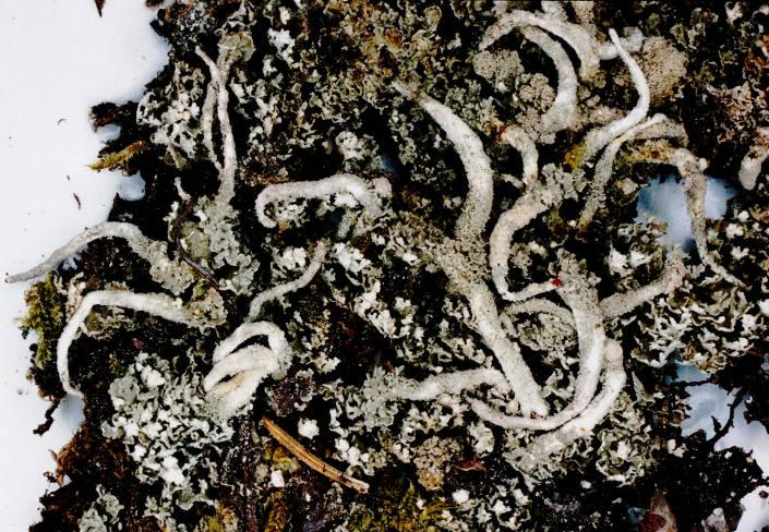 File:Cladonia macilenta var. macilenta-1.jpg