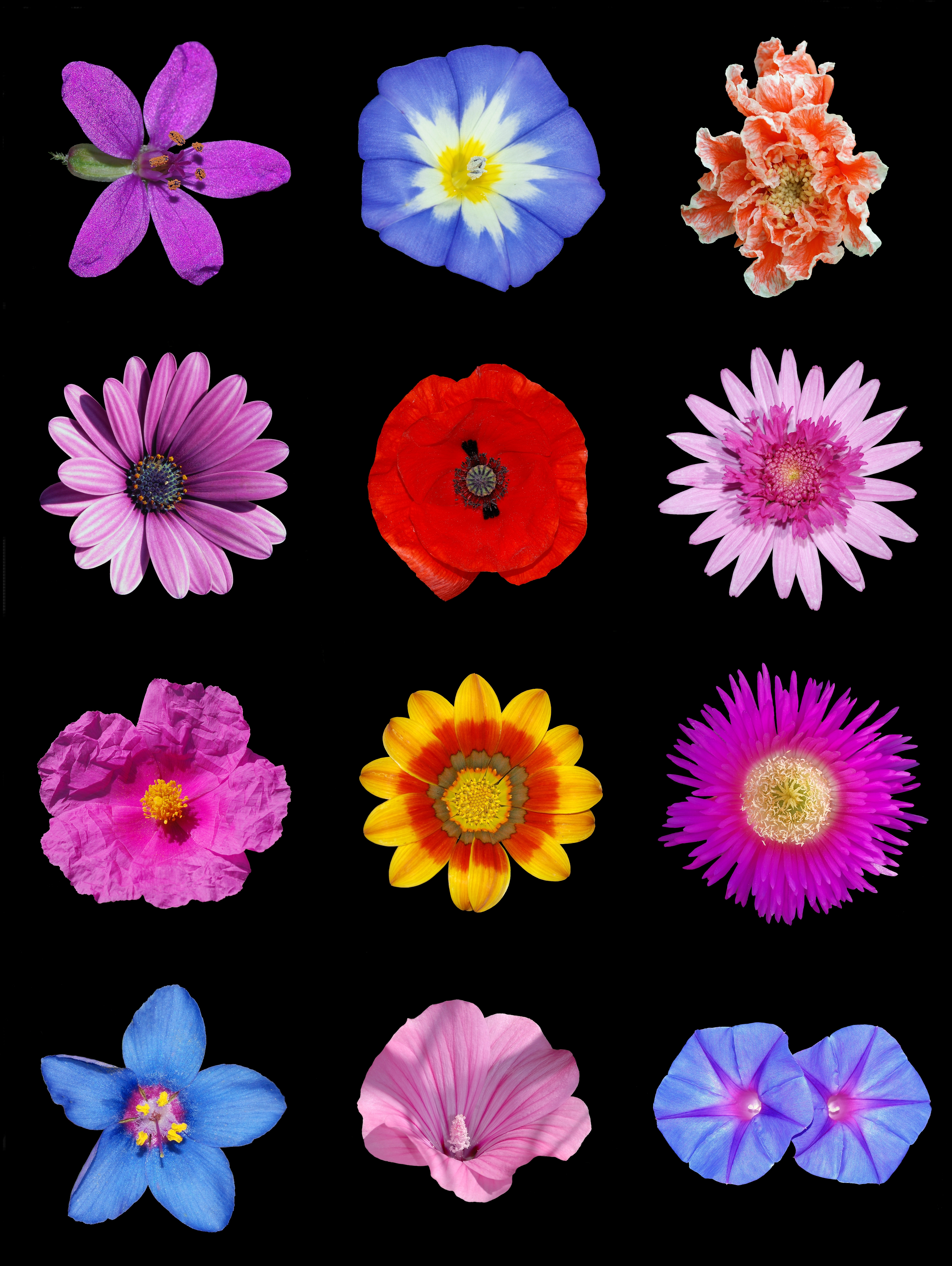 File:Colored flowers a.jpg - Wikimedia Commons