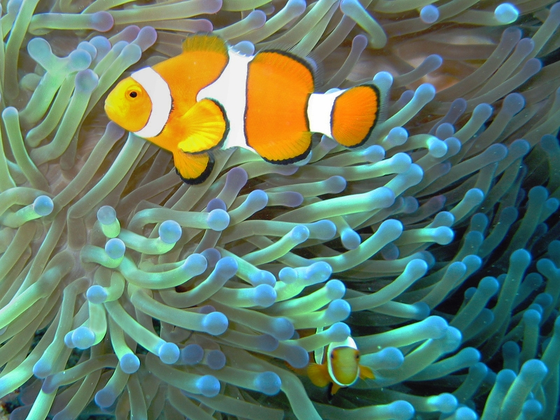 Common clownfish curves dnsmpl