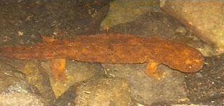 live hellbender salamander in the river