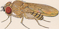 Drosophila willistoni Adult Male.png
