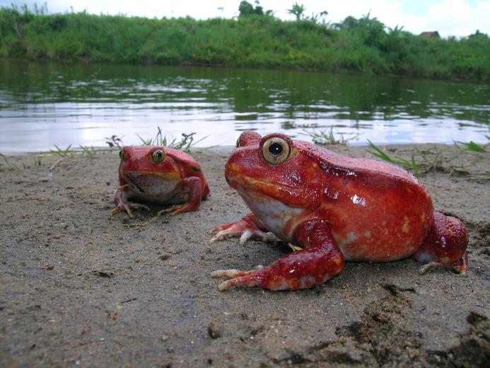 Crapaud rouge de Madagascar — Wikipédia