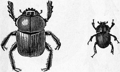 EB1911 Coleoptera - Fig. 27.—Scarabaeus Aegyptiorum, Fig. 28.—Geotrupes Blackburnei.jpg
