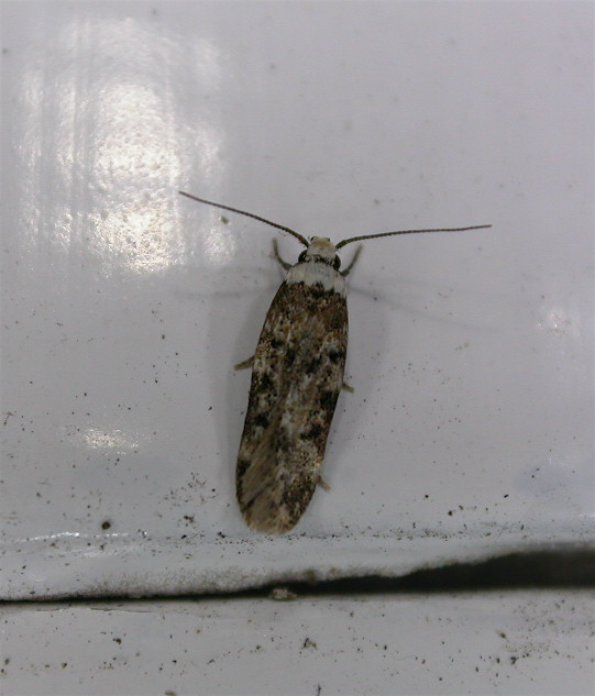 Pictures of Clothes Moth Identification - #catfactsblog