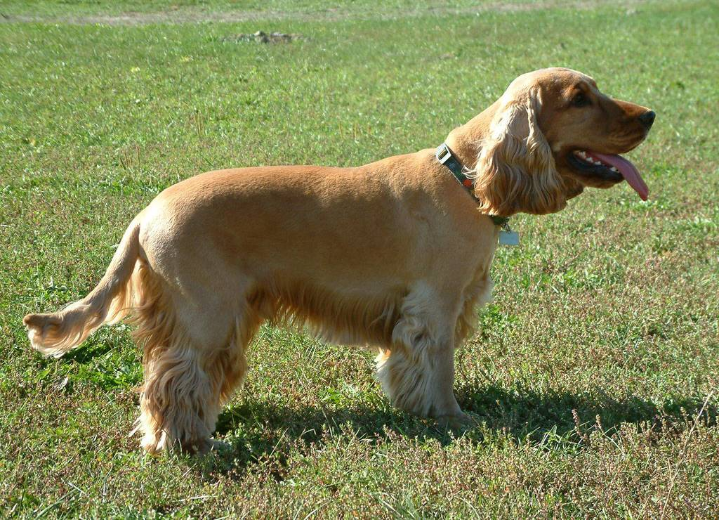 File:EnglishCockerSpaniel simon.jpg - Wikipedia, the free encyclopedia