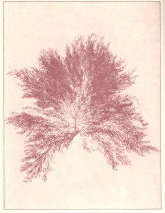 File fmib 53617 rhodophycees ou floridees algues rouges for Algues rouges piscine