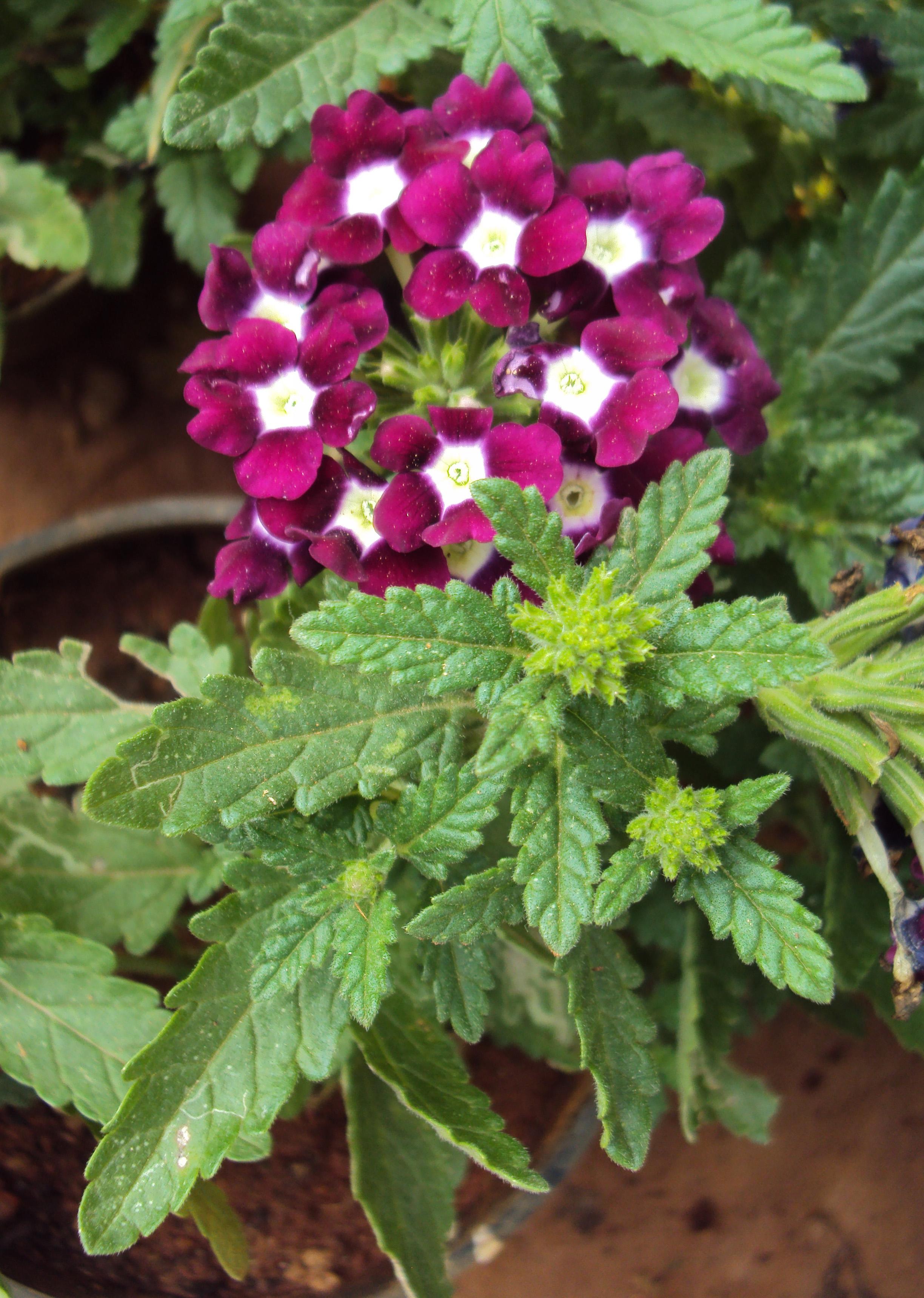 K j n desastroso plantas para jardin de mariposas - Planta verbena cuidados ...