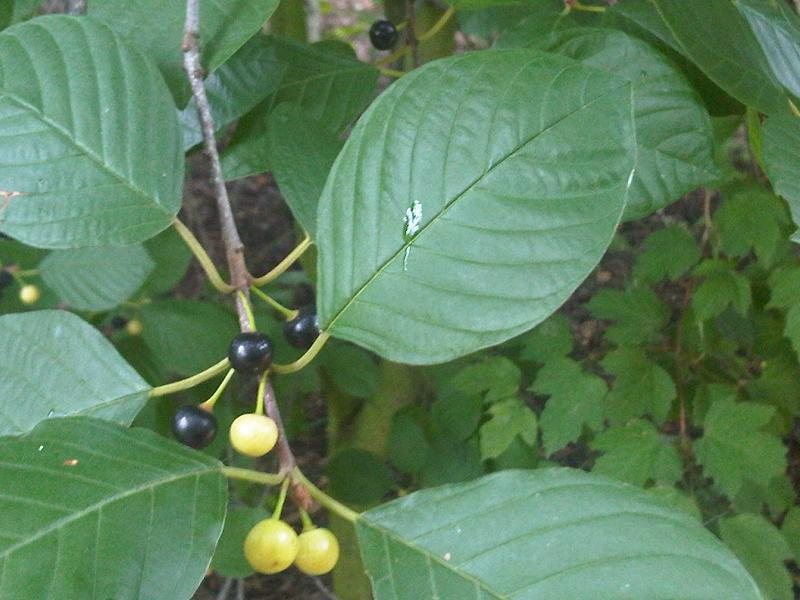 Acton Invasives Glossy Buckthorn