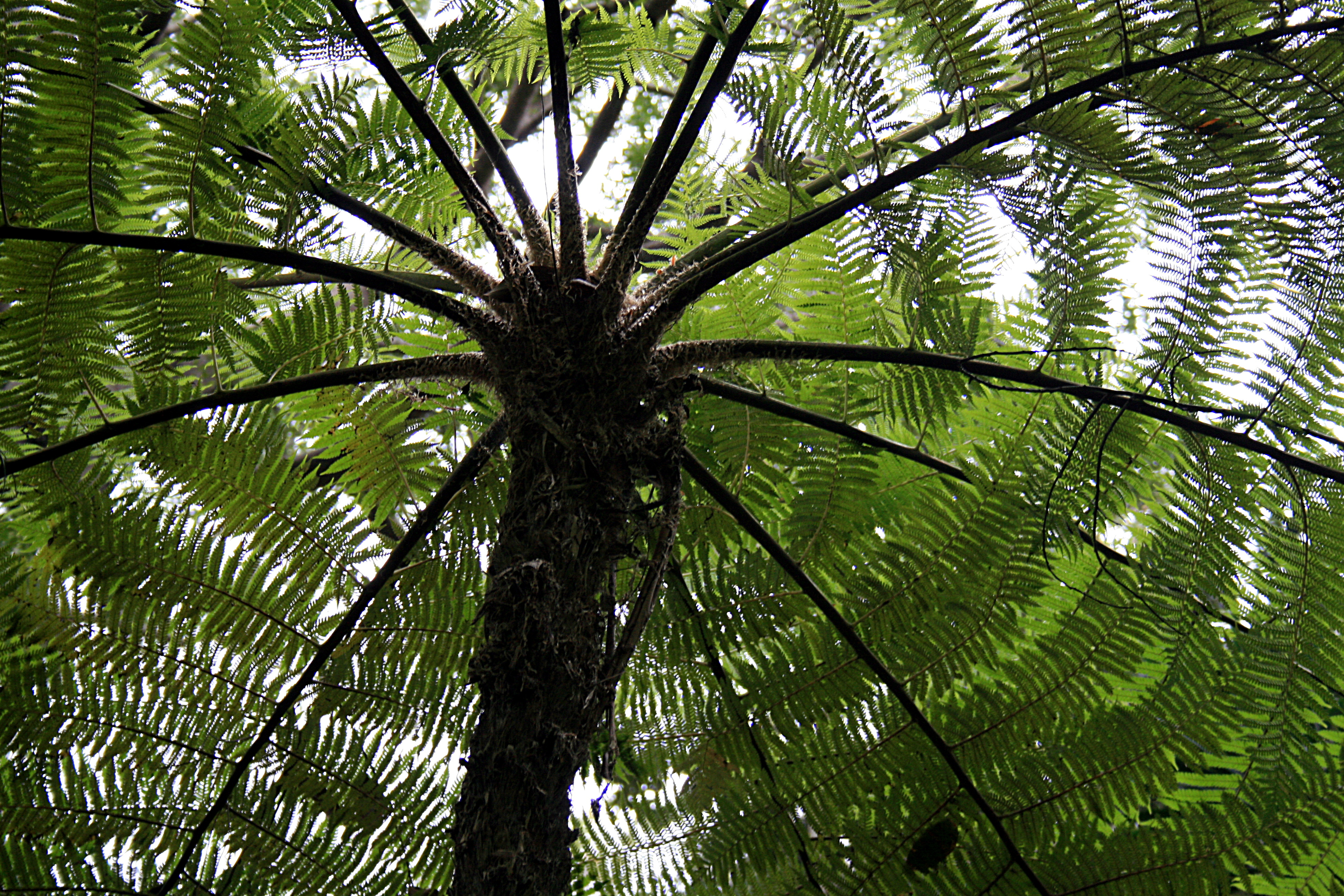 Small Pool Ideas File Funchal Monte Cyathea Cooperi Australischer