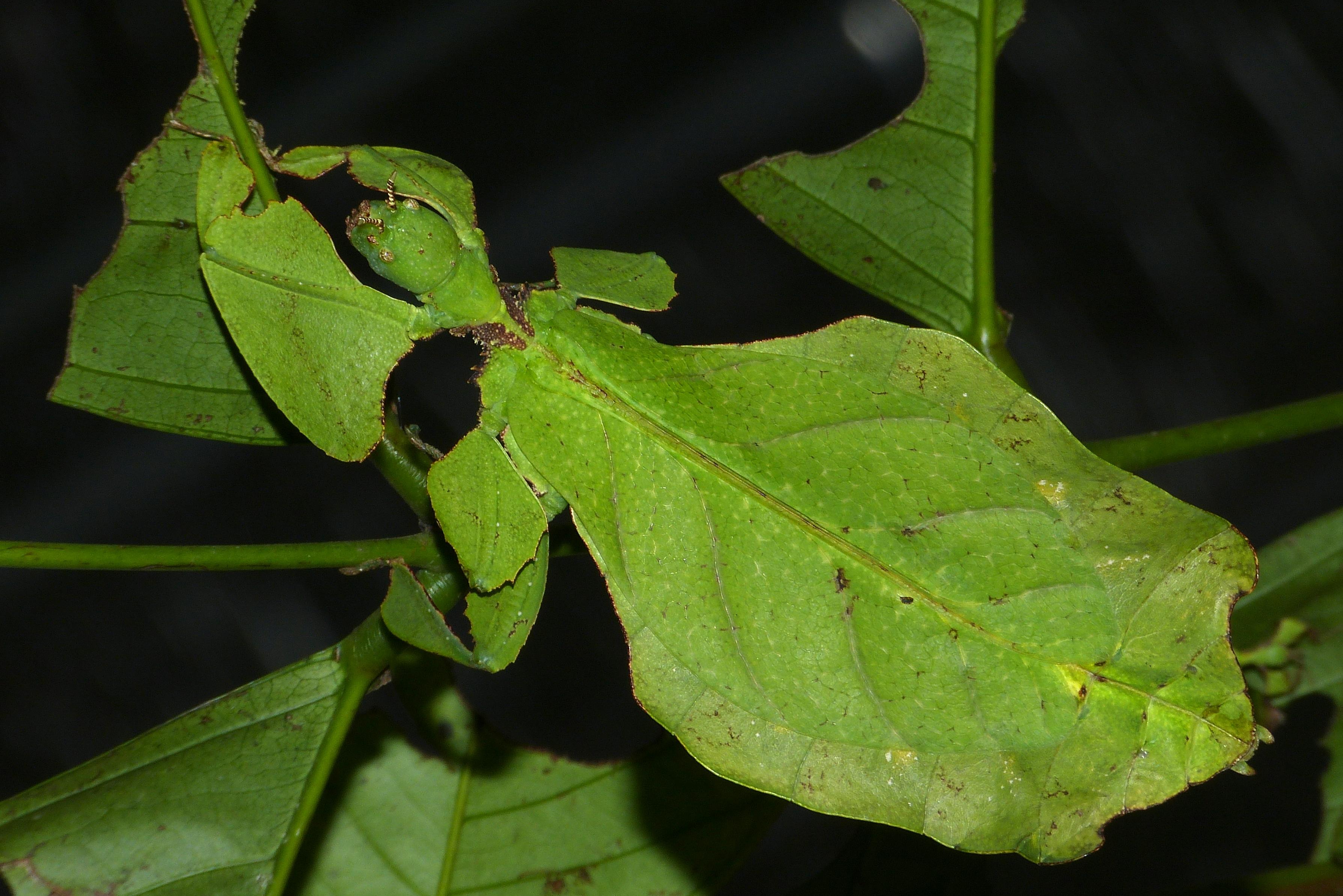 File:Giant Leaf Insect (Phyllium giganteum) (8757147425 ...