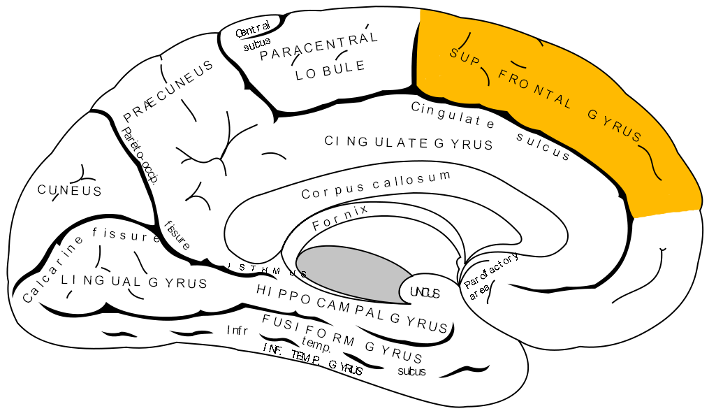 Medial frontal gyrus - Wikipedia