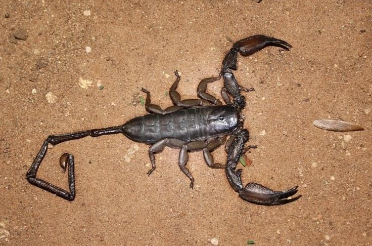 Hadogenes troglodytes, Madikwe-wildreservaat, Birding Weto, a