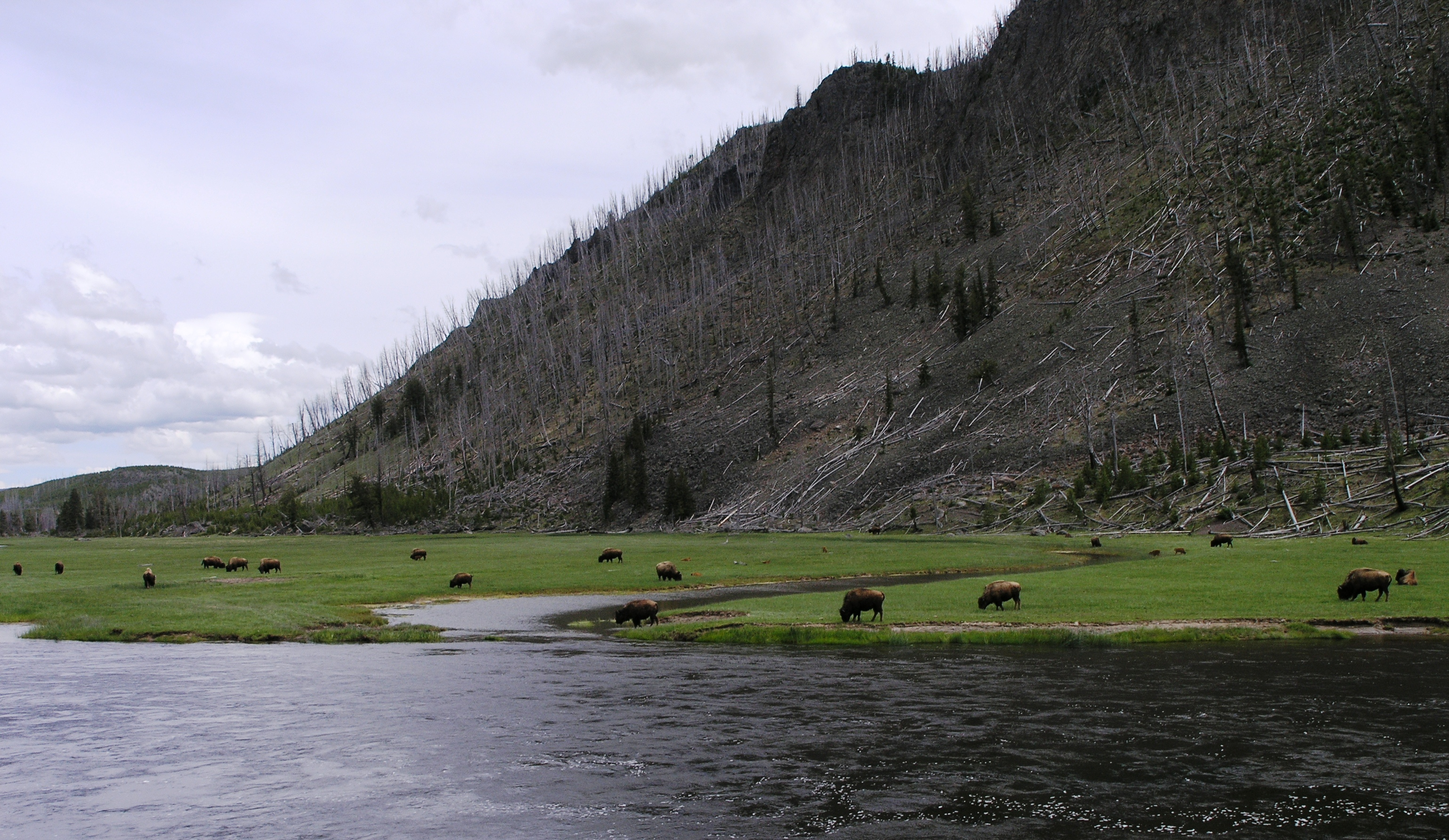 Bison on the Madison River at Madison Junction Yellowstone