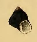 Homalopoma sangarensis 002.jpg