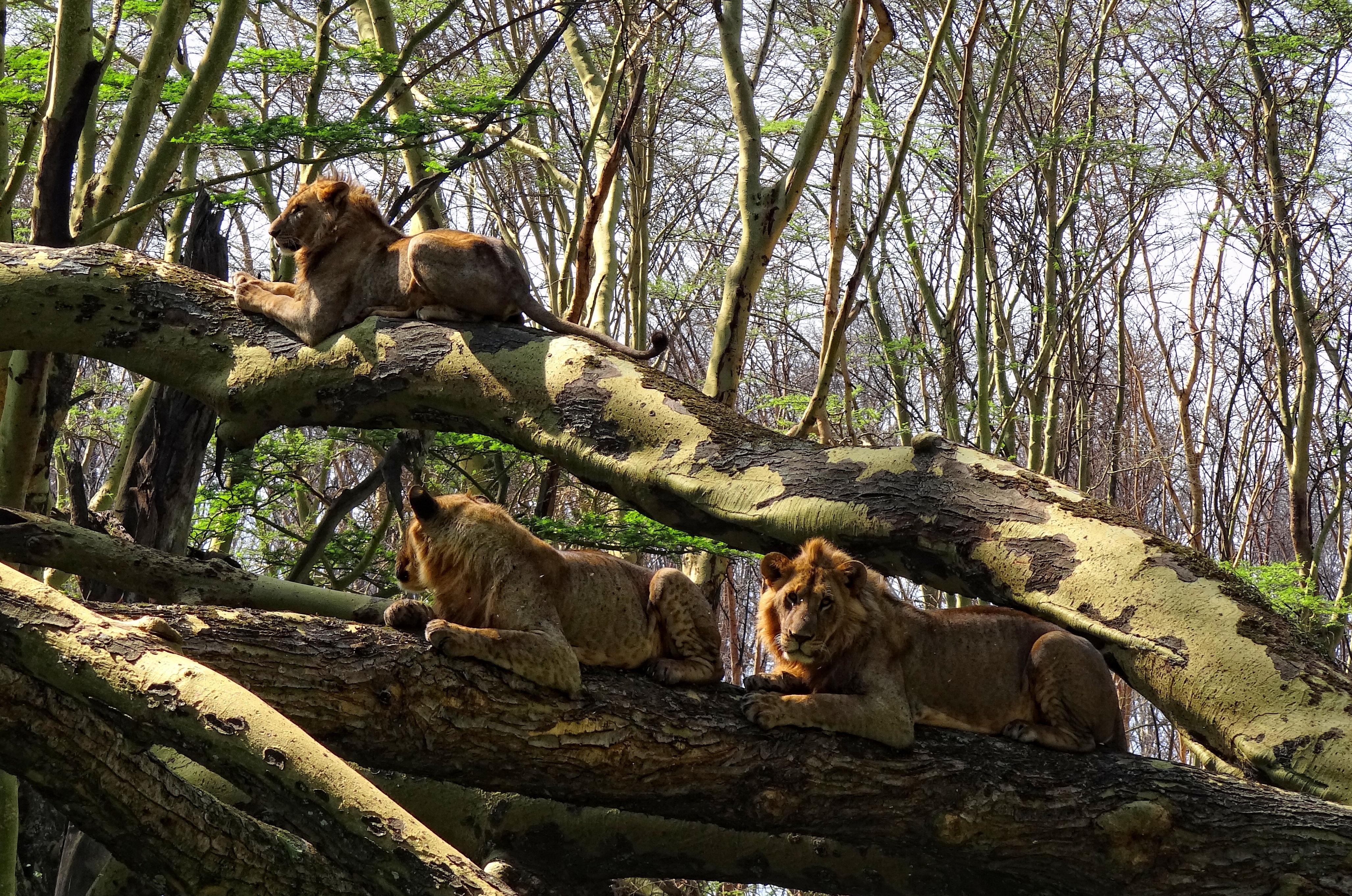 Image result for lion habitat
