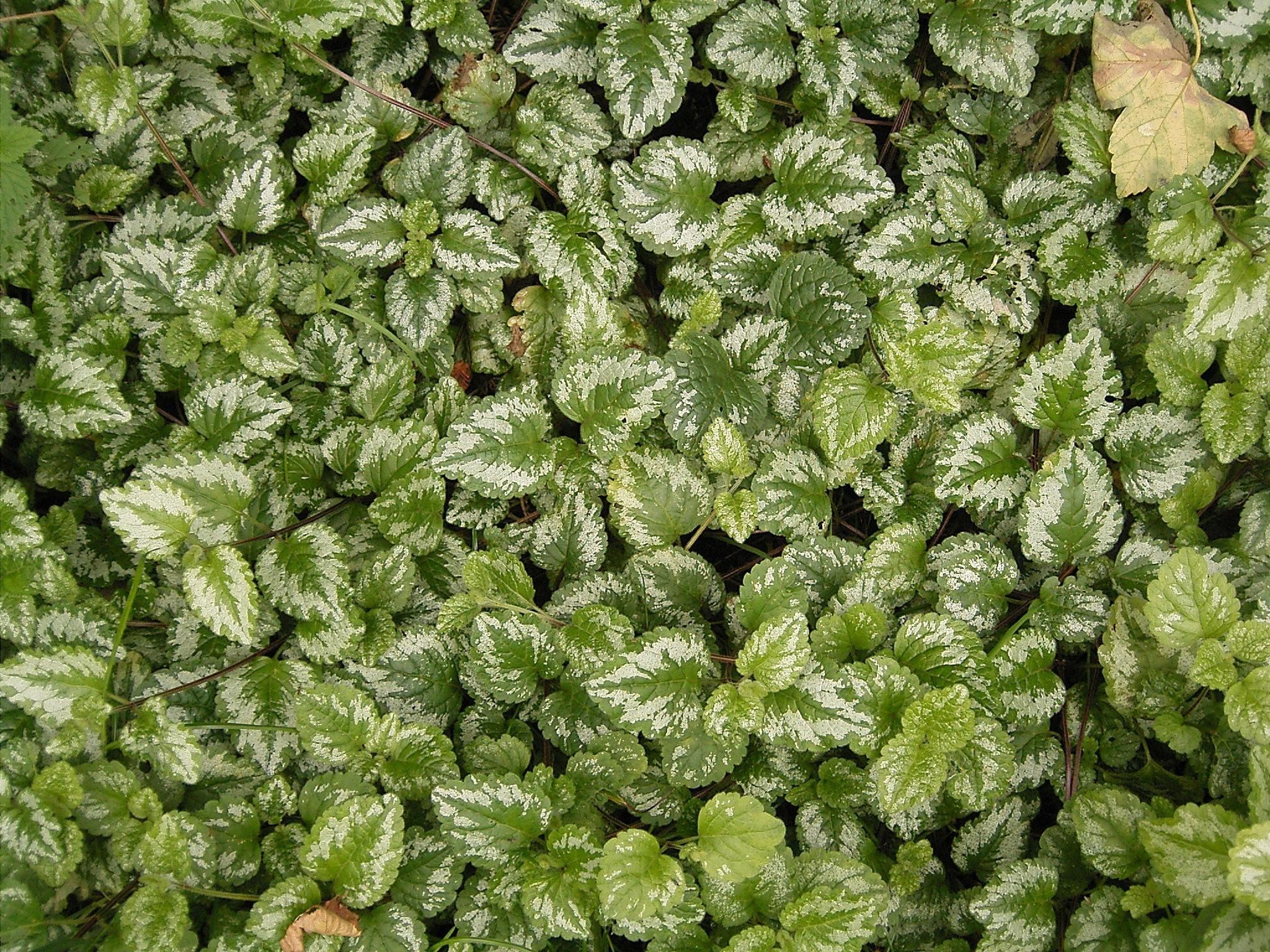 многолетнее стелющееся растение Яснотка