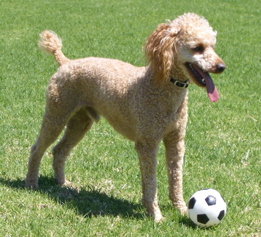 File Large Apricot Toy Poodle Jpg