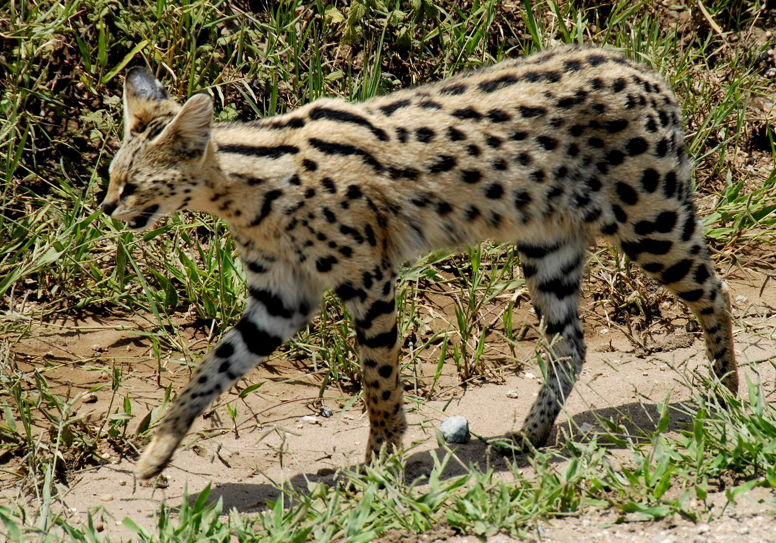 Leptailurus_serval_-Serengeti_National_P