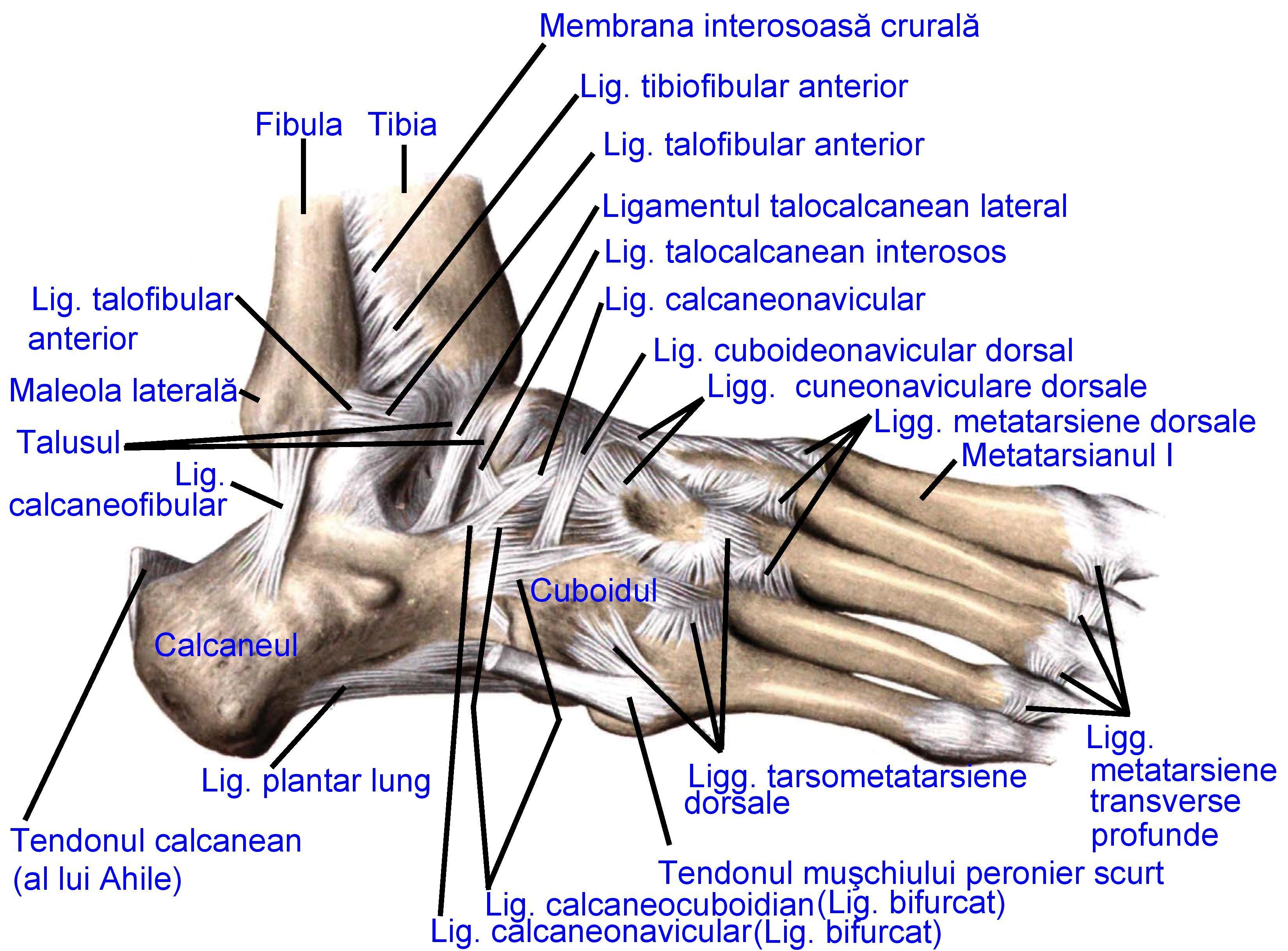 Ligamentul talocalcanean lateral - Wikipedia
