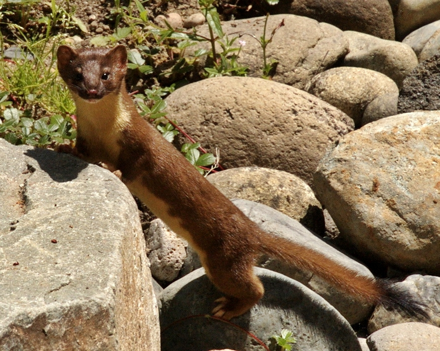 Short tailed weasel