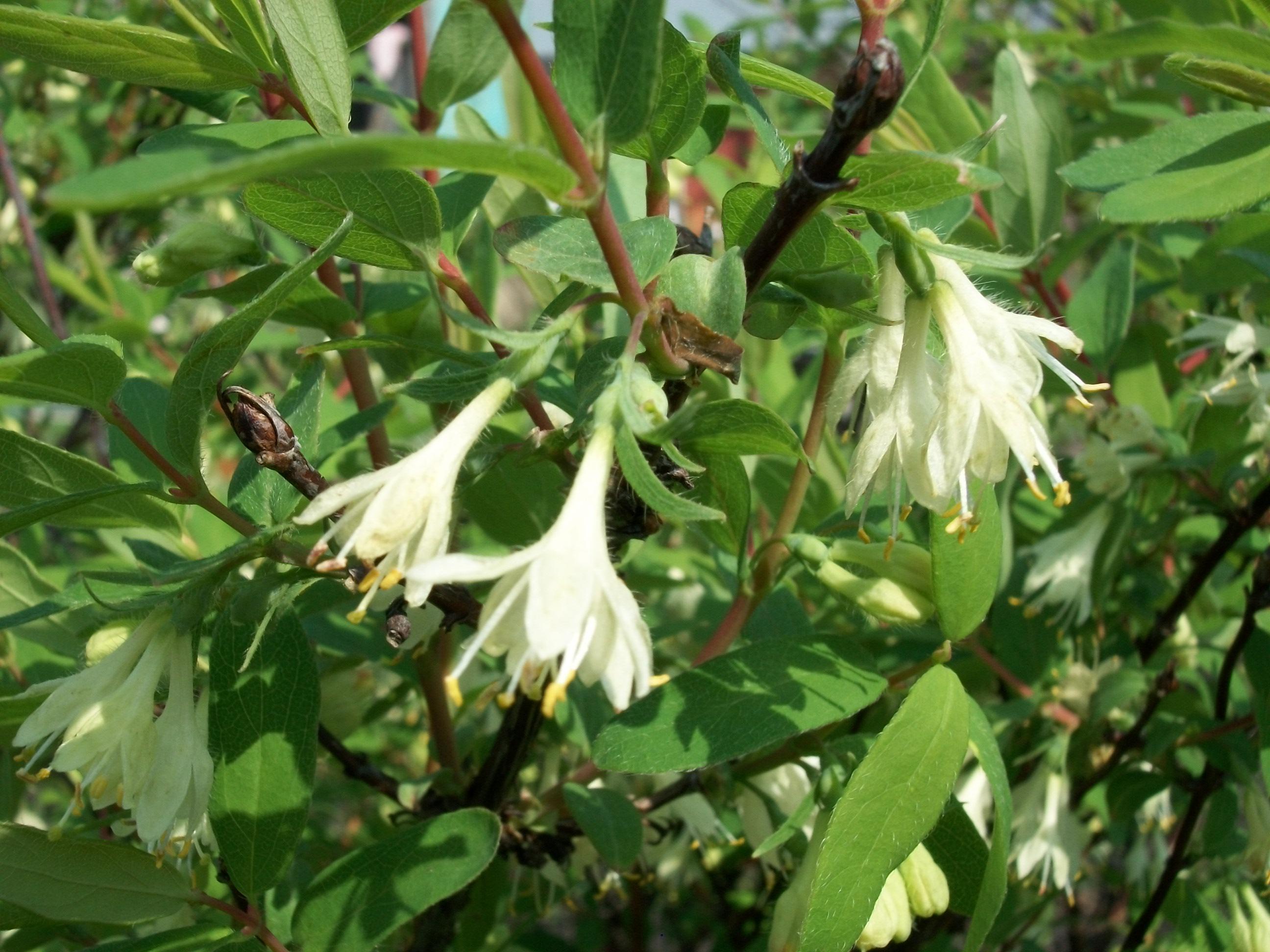 File Lonicera caerulea flowers JPG Wikimedia mons