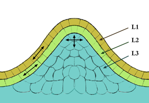 Tunica-Corpus model of the apical meristem (growing tip). The epidermal (L1) and subepidermal (L2) layers form the outer layers called the tunica.  The inner L3 layer is called the corpus. Cells in the L1 and L2 layers divide in a sideways fashion, which keeps these layers distinct, whereas the L3 layer divides in a more random fashion.