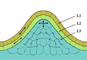 Depiction of Meristemo apical del tallo
