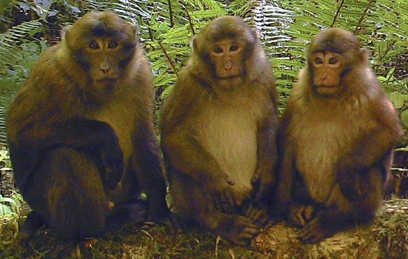 Macaca leucogenys juvenile.jpg