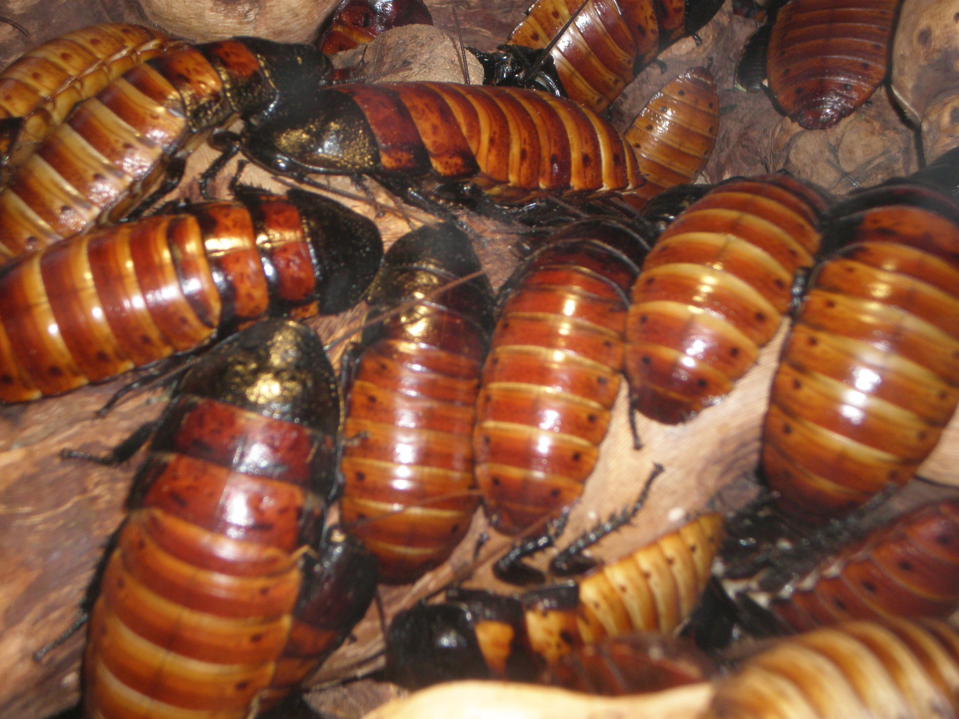 Как содержать мадагаскарских тараканов в домашних условиях